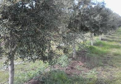 Preferencias de los consumidores de aceite de oliva