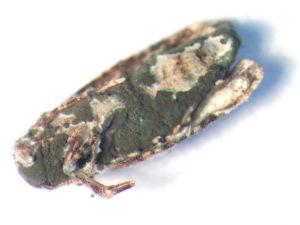 Ejemplar adulto de Lobesia botrana infectado por Metarhizium robertsii (tres días post-inoculación).