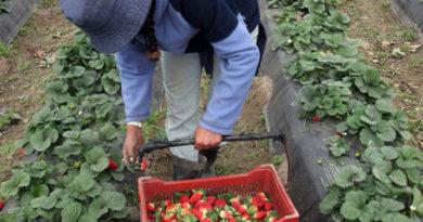 Fuente: https://inta.gob.ar/noticias/frutilla-condiciones-del-cultivo-en-el-inicio-de-la-cosecha-en-tucuman