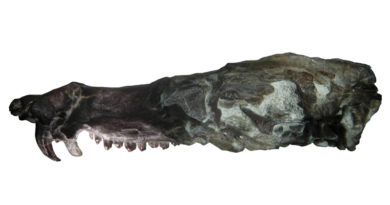Pseudotherium Argentinus_IMCN_UNSJ